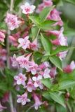 锦带花桃红色花和叶子 库存照片