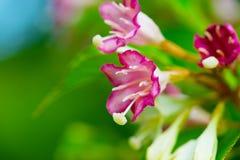 锦带花锦带花coraeensis 免版税库存照片
