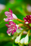 锦带花锦带花coraeensis 库存照片