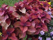 锦紫苏五颜六色的植物 免版税库存照片