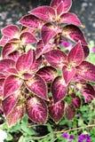锦紫苏植物的特写镜头 免版税图库摄影