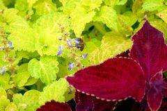 锦紫苏的美丽和明亮的花 库存图片