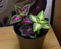 锦紫苏的花在一个罐的在桌上 免版税库存照片