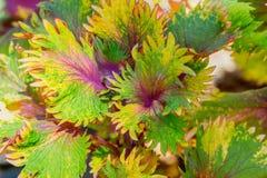 锦紫苏秀丽绘了荨麻五颜六色的叶子背景 库存照片