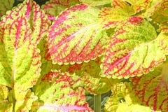 锦紫苏绿色和红色叶子  免版税库存图片