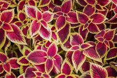 锦紫苏顶视图红色和黄色叶子背景的 免版税图库摄影