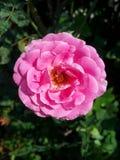 锦缎玫瑰色花 库存图片
