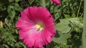 锦葵属桃红色颜色 影视素材