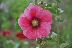 锦葵属花桃红色颜色 库存图片