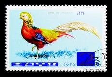 锦鸡(锦鸡属pictus), serie,大约1976年 库存照片