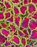 锦紫苏五颜六色的叶子 库存照片