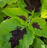 锦紫苏在春天庭院里 库存照片