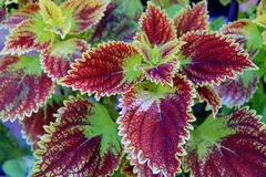 锦紫苏植物精采叶子  库存图片