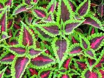 锦紫苏植物绿色和紫色叶子  库存图片