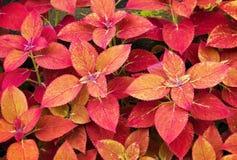 锦紫苏植物 库存照片
