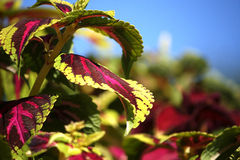 锦紫苏植物 库存图片