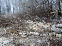 锯切木柴-大桦树裁减成片断在地面上说谎在冬天森林里 图库摄影