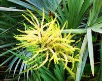 锯矮棕榈条树 库存图片
