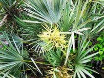 锯矮棕榈条树 库存照片