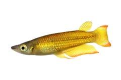 锵鱼镶边了panchax Aplocheilus lineatus热带水族馆鱼 库存图片