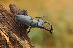 锹虫, Lucanus鹿,大昆虫在自然栖所,老树干,明白橙色背景,捷克 免版税库存照片