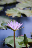 镇静凝思开花的平静 图库摄影