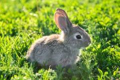 镇静地坐在草的一只灰色兔子的逗人喜爱的照片 库存照片