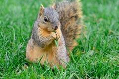 镇静地坐的狐狸松鼠吃绿色graass片断  库存图片