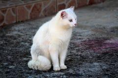镇静地坐石基础和好奇地看在距离的逗人喜爱的家养的纯净的白色猫 免版税库存照片