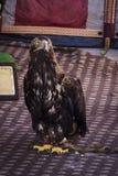 镇静地摆在陈列的老鹰 免版税图库摄影