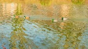 镇静地游泳在一个池塘的四只野鸭鸭子用透明的水 免版税库存照片