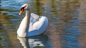 镇静地游泳在一个池塘的白色天鹅在公园 库存图片