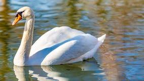 镇静地游泳在一个池塘的美丽的白色天鹅在公园 图库摄影