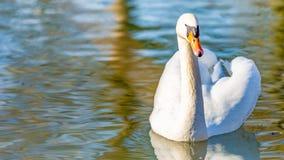 镇静地游泳在池塘的一只白色天鹅的正面图 库存图片
