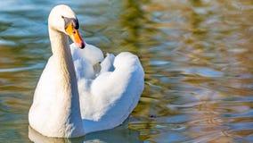 镇静地游泳在池塘的美丽的白色天鹅 库存照片