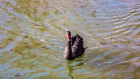 镇静地游泳在池塘的美丽的黑天鹅 免版税库存照片