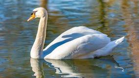 镇静地游泳在湖的白色天鹅 免版税库存图片