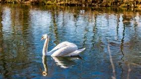 镇静地游泳在湖的美丽的白色天鹅反射在水中 库存照片