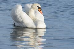 镇静地漂浮在水的一只白色天鹅 库存图片