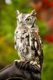 镇静地看在它的周围附近的乏味猫头鹰 免版税库存照片