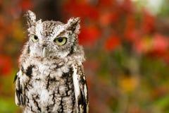 镇静地看在它的周围附近的乏味猫头鹰 免版税库存图片