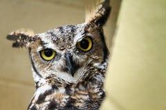 镇静地看在它的周围附近的怀疑猫头鹰 免版税图库摄影