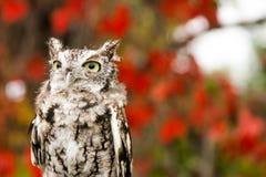 镇静地看在它的周围附近的恼怒的猫头鹰 库存图片