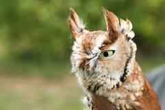 镇静地看在它的周围附近的恼怒的猫头鹰 免版税库存照片