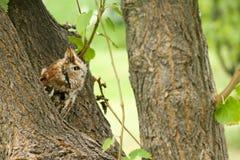 镇静地看在它的周围附近的恼怒的猫头鹰 库存照片