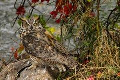 镇静地看在它的周围附近的恼怒的猫头鹰 免版税图库摄影