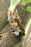 镇静地看在它的周围附近的恼怒的猫头鹰 免版税库存图片