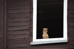 镇静地看通过老木房子窗口的一条小棕色狗  免版税库存图片
