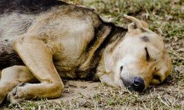 镇静地睡觉一只的流浪狗 库存图片