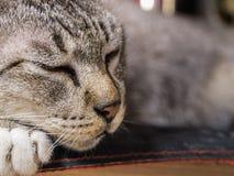 镇静地睡觉的虎斑猫 库存照片